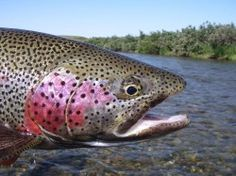 Fly fishing fro trout fishing in Alaska
