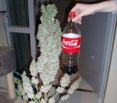 How To Grow Huge Marijuana Buds - 7 Tips