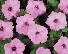 Supertunia Vista: vigorous and have a mounding/cascading habit. grow 16-24 inches tall, and spread w-a-a-y out. As much as 2 feet. You want to fill an area with wall-to-wall medium pink flowers all season? Im your plant. Hanging baskets, window boxes, patio containers, same story.