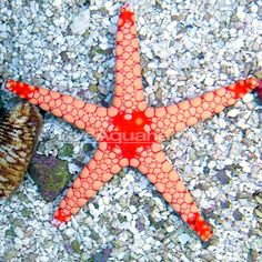 Tile Sea Star, Orange/Red Saltwater Aquarium Fish, Saltwater Tank, Reef Aquarium, Brittle Star, Marine Tank, Nano Tank, Red Tiles, Salt Water Fish, Marine Aquarium