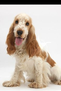 Orange and white English Cocker Spaniel