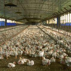#CAMEROUN :: Grippe aviaire : La vente de poulets se porte bien :: CAMEROON - camer.be: camer.be CAMEROUN :: Grippe aviaire : La vente de…