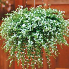 Bacopa 'Snowtopia' (Sutera cordata)  Half-hardy Annual. Beautiful little flowers adorn these bushy trailing plants from June to September. They're just the job for filling out your hanging baskets and window boxes.