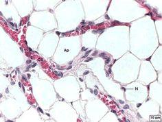 TECIDO CONJUNTIVO ADIPOSO - O tecido adiposo é formado por adipócitos, isto é, células que armazenam gordura. Esse tecido encontra-se abaixo da pele e suas funções são: fornecer energia para o corpo; atuar como isolante térmico, diminuindo a perda de calor do corpo para o ambiente; oferecer proteção contra choques mecânicos (pancadas, por exemplo).