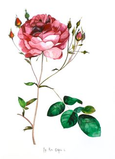 On SALE - Significantly Reduced Studio Clearance - Rose - Original Watercolor Painting - 18x24