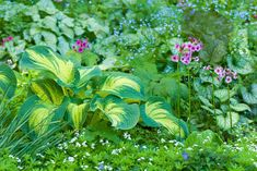 A lot more about the image here Landscaping With Mulch Ideas Light Purple Flowers, Lavender Flowers, Shade Garden, Garden Plants, Hosta Care, Hosta Varieties, Hosta Gardens, Mulch Landscaping, Landscaping