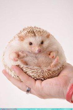 I'VE ALWAYS WANTED A HEDGEHOG!