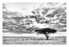 BW print of a lonely acacia tree in the Kalahari Wildlife Art, Acacia, Animal Photography, Fine Art Paper, Lonely, Lab, Fine Art Prints, Canvas Art, Clouds