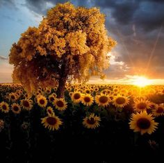Sunshine & Sunflowers