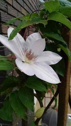 How to Get Beautiful Clematis Blooms: Acidity vs. Alkaline ~ Southern Gardening Gal - How to get beautiful clematis blooms, Clematis, White Clematis, Henryi Clematis - White Clematis, Purple Clematis, Amazing Gardens, Beautiful Gardens, Beautiful Flowers, Rare Flowers, Clematis Care, Clematis Trellis, Sweet Autumn Clematis