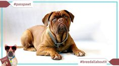 Breed All About It  Dog Breeds starting With M  Bullmastiff  Bullmastiff  Narrator: The Bullmastiff revered as a guard dog. But this monster of a canine was bred not to bite.  Dr. Karen Halligan: They actually will pin their prey down without hurting or killing it.  Narrator: Various diamond mines in South Africa have used this breed to guard their diamonds. John D. Rockefeller used a Bullmastiff as a watch dog on his estate. But these massive dogs are actually known as gentle giants…