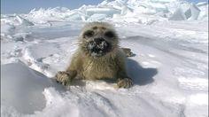 """世界遺産さんのツイート: """"バイカルアザラシの赤ちゃんです。アザラシは2月から4月にかけて出産、氷が溶ける6月ころまでに泳ぎを覚えます。 https://t.co/xvuyXZxwrT"""""""