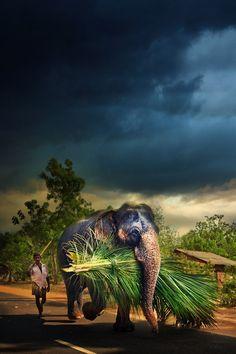 Elephant in Sri Lanka // Manuel Lao