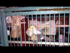 驚くべき動物 - Amazing Animals - cockatiel singing - YouTube