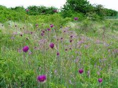 Porast sinokvetu mäkkého Plants, Garden, Garten, Planters, Gardening, Outdoor, Home Landscaping, Plant, Tuin