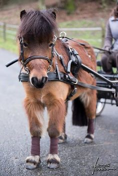 Cute mini horse pulling a wagon. It's so fluffy, even the legs. Look how skinny they are where the legs have been wrapped. :)