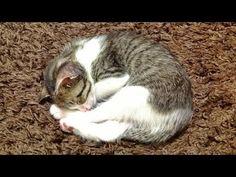 仔猫の想い出「♀猫こむぎ」Part2;猫おもしろ動画こむぎ&だいず