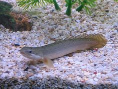 1000 images about bikir on pinterest fish aquariums for Bichir fish for sale