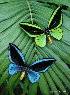 Papua Bird-wings [Male] - These butterflies have been farmed in Papua New Guinea. The green one is Ornithoptera priamus, and the blue is Ornithoptera urvillianus; by Wild-Jungleman