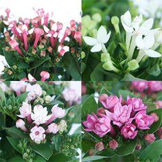 FiftyFlowers.com - Bouvardia Farm Mix Flower