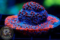 BigRcorals Coral Reef Aquarium, Saltwater Aquarium Fish, Saltwater Tank, Marine Aquarium, Saltwater Fishing, Coral Reef Animals, Weird Sea Creatures, Sps Coral, Marine Tank
