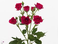 Rød greinrose Plants, Pink, Pictures, Plant, Planets