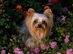 Dwarf breeds of dogs