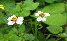 Tumbuhan obat dan sains khasiat ganyong hutan si bunga tasbih tanaman berkhasiat obat tanaman obat ajeran ccuart Gallery