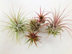 """Air Plants - Tillandsia Ionantha 5 Pack - 5 Air Plants at a Great Price! Includes """"Glass Home Gardens Guide to Air Plants"""" by Glass Home Gardens. Save 25 Off!. $14.95. Update 3/17/13 - Ship of beautiful fresh plants just in! We have incredible blushing Guatemalans, vibrant Fuegos, Rubra and Mexicana.. Five of the most beautiful air plants you will find, varieties of Tillandsia Ionantha. Unique, hardy and easy to care for.. Guaranteed to be healthy when you receive them.. Includes ..."""