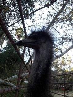 Did you know, emus can be up to 6ft tall? Rancho Las Lomas Wildlife Foundation.