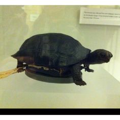 Darwin's pet tortoise from the Beagle