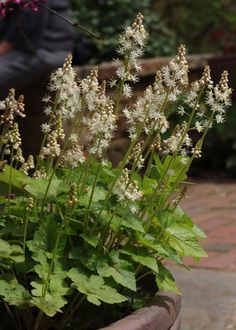 Tiarella cordifolia Foamflower from North Creek Nurseries North Creek, Spring Fairy, Fairy Wands, Heuchera, Organic Matter, Shade Plants, Early Spring, Perennials, North America