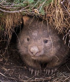portrait of a common wombat (Vombatus ursinus) was captured by Deb Flynn in Thredbo, New South Wales. Wombat Pictures, Cute Wombat, Common Wombat, Baby Animals, Cute Animals, Animal Captions, Australia Animals, Wild Dogs, Pet Birds