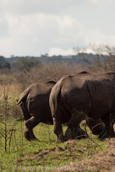 These cheeky Rhinos were on their way to the waterhole at Hluhluwe-Imfolozi