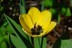 Tulppaani  keltainen