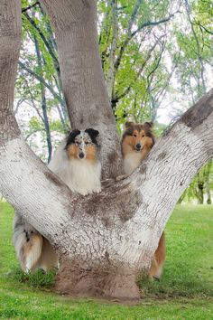 Collies- I dream about them... :)