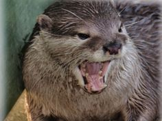 Angry Otter by ady77 on DeviantArt
