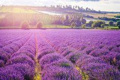 the hop shop lavender - Google Search
