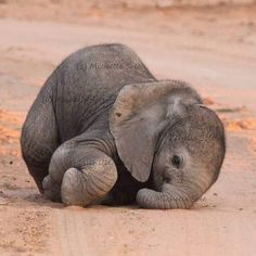 Cuteness Alert - Baby Elephant Photography by: Michelle - For more amazing wildlife and nature posts at WildlifePlanet Baby Animals Pictures, Cute Animal Pictures, Animals And Pets, Nature Animals, Wild Animals, Cute Elephant Pictures, Heart Pictures, Meme Pictures, Safari Animals