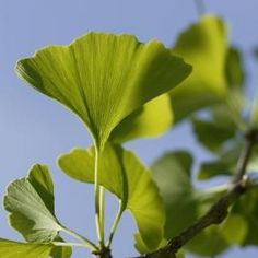 Process gingko leaves to make herbal extracts, tinctures and pills.
