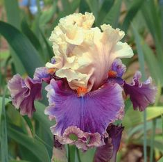 Fragrant and great-looking, Iris 'Hold My Hand' is exquisitely beautiful with its heavily ruffled, creamy champagne standards, delicately brushed with pale lavender at the midribs.