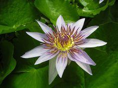 Flor Nacional de Sri Lanka Nenúfar de Sri Lanka (Nymphaea stellata)