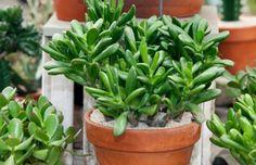 Como plantar Bálsamo. O bálsamo é um tipo de planta suculenta que embeleza e aromatiza ambientes, mas também possui propriedades terapêuticas, como digestiva, cicatrizante e emoliente. A espécie pode atingir 90 centímetros...