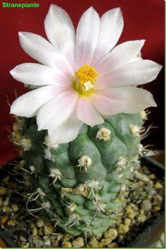 Turbinicarpus lophophoroides flower