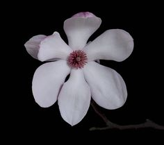 pink and white magnolia blossom picture by vanhuynh