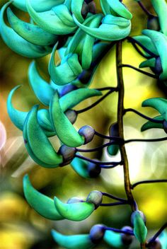 Jade Vine: The jade vine (Strongylodon macrobotrys) is a native of the tropical forests of the Philippines. Its flowers are the color of highly unusual blue-green jade, and hang in bunches up to 90 cm long; each clawlike flower is about 7½ cm long. The jade vine's flowers are pollinated by bats.
