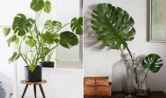 Costela-de-Adão na decoração da casa. Do paisagismo para a decoração, conheça a planta que se tornou tendência. Confira as dicas.