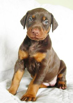 Roxy Girl_4weeks | HappyDobermans Breeder Photo | HAPPYDOBERMANS | Flickr