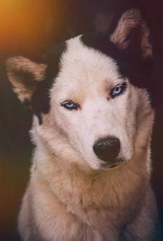 Husky, Animals, Animales, Animaux, Animal, Animais, Husky Dog