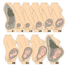Pregnancy growth chart available inside Baby Countdown App Pregnancy Growth…